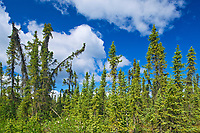 Boreal forest along the Dempster Highway, Dempster HIghway, Yukon, Canada