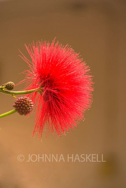 An African flower of a tall vine with spiky red petals.