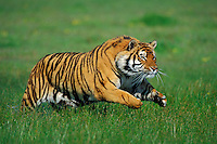 Bengal Tiger (Panthera tigris) running.