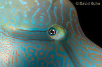 0514-1004  Close up of Face, Humphead Wrasse (Giant Wrasse or Napoleon wrasse), Cheilinus undulatus  © David Kuhn/Dwight Kuhn Photography