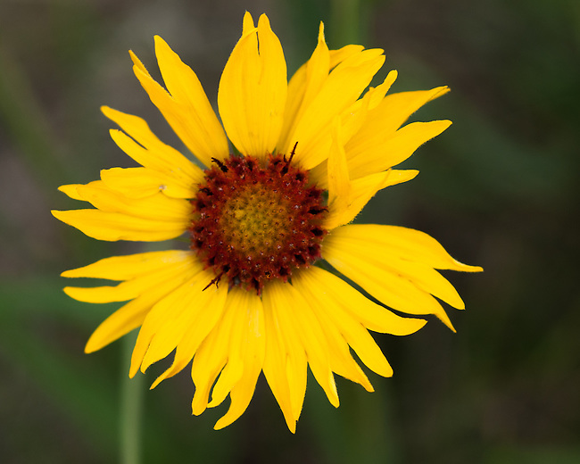 blanketflower, summer morning at Hermit Park in the Rocky Mountains near Estes Park, Colorado, USA