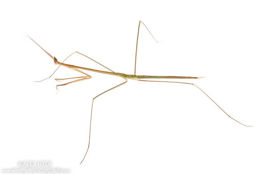 Grass Mantis {Schizocephala bicornis} photographed on a white background. Captive, originating from India. website