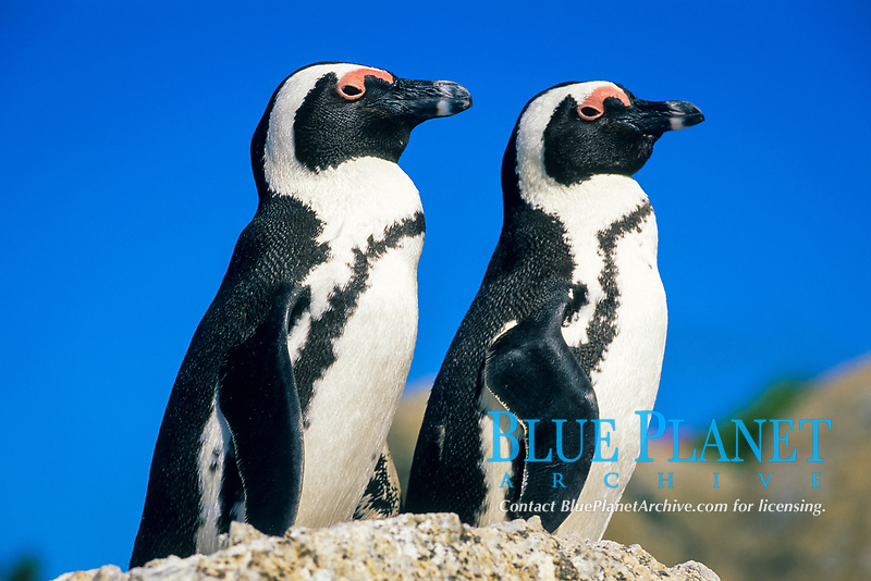 bird, African Penguins Spheniscus demersus Cape Peninsula,, South Africa