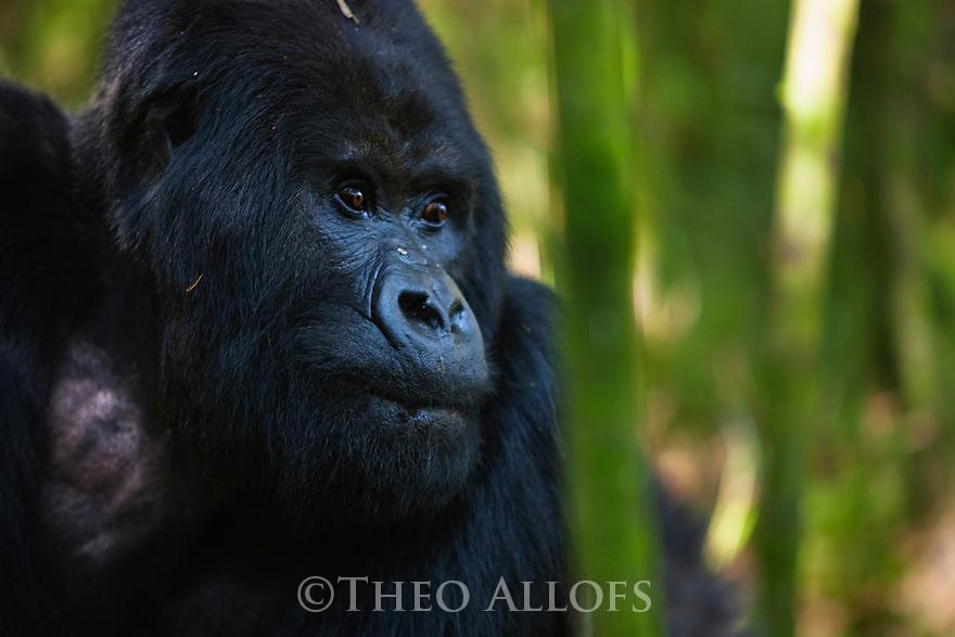 Rwanda, Volcanoes National Park, male mountain gorilla, silverback (Gorilla beringei beringei)