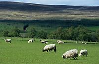 """Europe/Grande-Bretagne/Ecosse/Moray/Speyside/Env de Dufftown : Brebis à poil long de race """"Black Faces"""" et lande"""