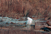 Snowy Owl (Bubo scandiacus) Female or Juvenile, sitting on Frost Covered Log at Boundary Bay Regional Park, Delta, BC, British Columbia, Canada - aka Arctic Owl, Great White Owl or Harfang. Note Owl Head rotated 180 degrees.