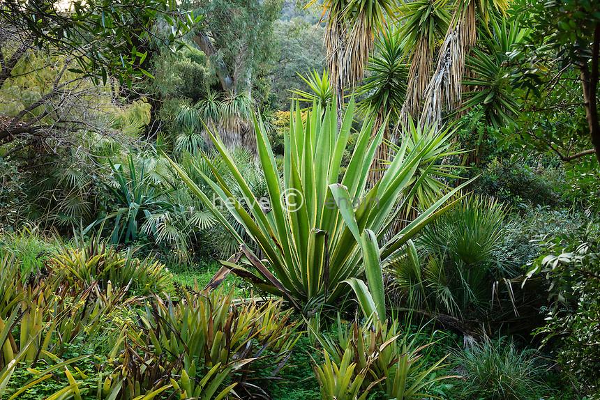 Le Domaine du Rayol:<br /> Agave sisalana (vérif), broméliacées, Yucca elephantipes, Chamaerops humilis...
