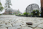 Eastern Painted Turtle (Chrysemys picta picta) near mansion during rainfall, Gloucester, Cape Ann, eastern Massachusetts