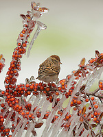 Chipping Sparrow (Spizella passerina), adult perched on icy branch of  Yaupon Holly (Ilex vomitoria) with berries, Hill Country, Texas, USA