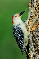 597990016 a wild male red-bellied woodpecker melanerpes carolinus with its tongue flicked out perches on a dead mesquite tree in the small town of lipscomb texas