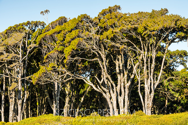 Close up of coastal grove of rimu trees near Haast, West Coast, South Westland, UNESCO World Heritage Area, New Zealand, NZ