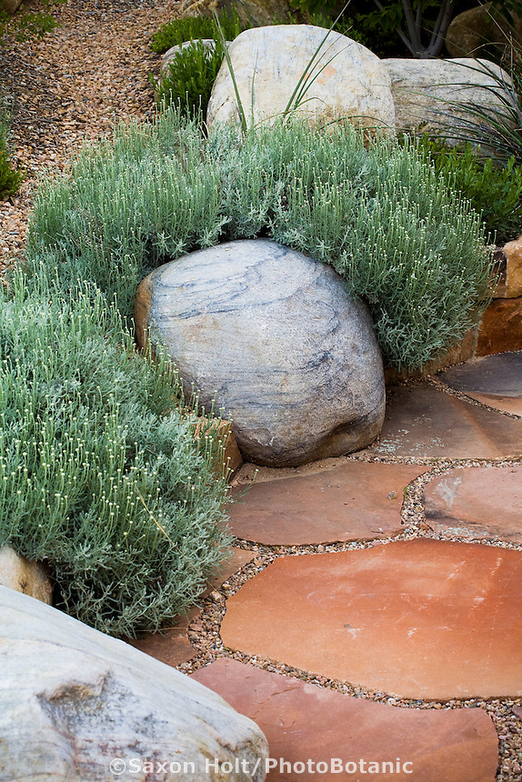 Santolina chamaecyparissus-Lavender Cotton gray leaf herb among rocks by flagstone patio pavers in New Mexico drought tolerant garden