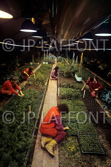 Wasco, Oregon, February 1984: Disciples of Bhagwan Rajneesh gathering vegetables in from the greenhouses in Rajneeshpuram. The disciples were vegetarian and grew their own vegetables. Rajneeshpuram, was an intentional community in Wasco County, Oregon, briefly incorporated as a city in the 1980s, which was populated with followers of the spiritual teacher Osho, then known as Bhagwan Shree Rajneesh. The community was developed by turning a ranch from an empty rural property into a city complete with typical urban infrastructure, with population of about 7000 followers.
