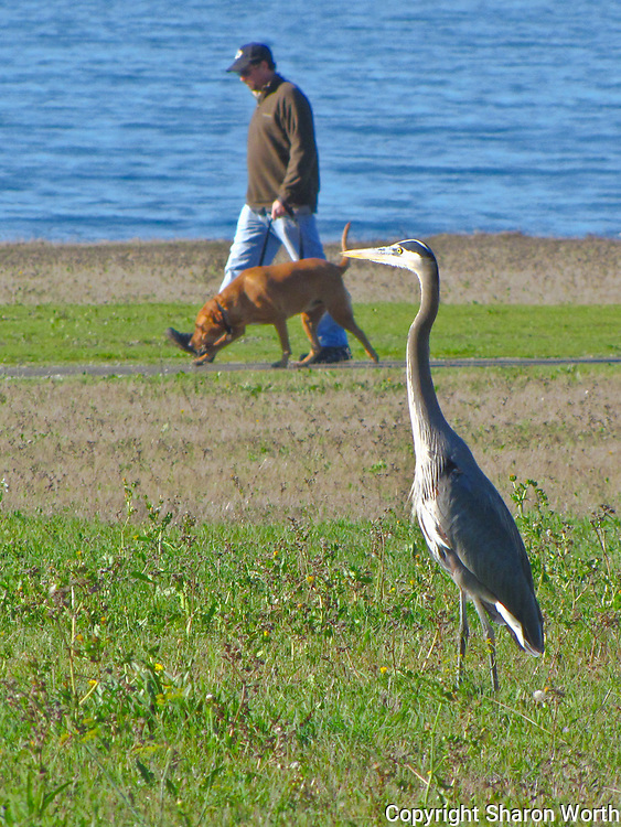 A great blue heron watches a man and his dog walking along the Half Moon Bay Coastal Trail.
