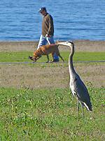 A great blue heron watches a man and his dog walking along the Half Moon Bay Coastal Trail.
