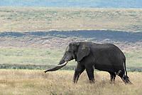 African Elephant, Loxodonta africana, in Ngorongoro Crater, Ngorongoro Conservation Area, Tanzania