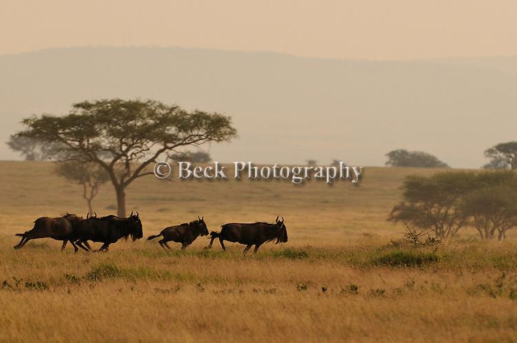Wildebeest running in Africa