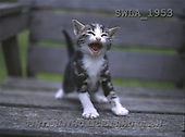 Carl, ANIMALS, photos(SWLA1953,#A#) Katzen, gatos