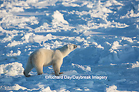 01874-13613 Polar Bear (Ursus maritimus)  Cape Churchill, Wapusk National Park, Churchill, MB