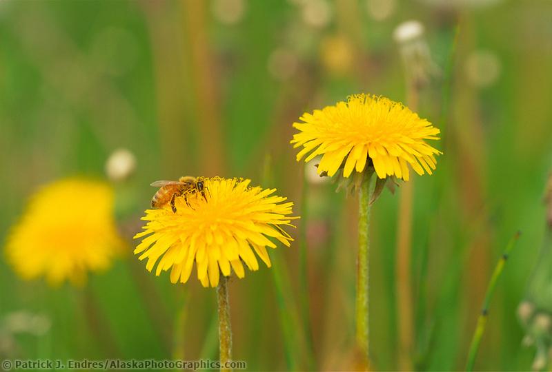 Bee on dandelion, tundra, Alaska, summer vegetation