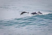 Dolphins playing in the waves off Point Danger, Coolangatta , Queensland, Australia.  Photo: joliphotos.com