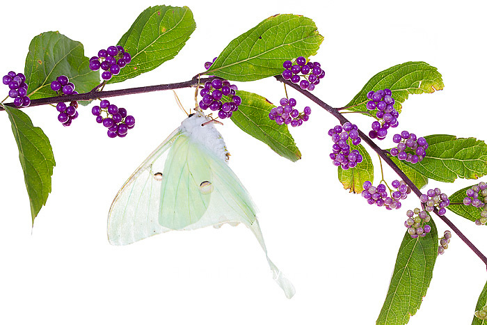 30040-00107 Luna Moth (Actias luna) on American Beautyberry (Callicarpa americana) on white background, Marion Co., IL
