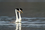 Clark's Grebes (Aechmophorus clarkii) courting pair swimming together, Escondido, California, USA
