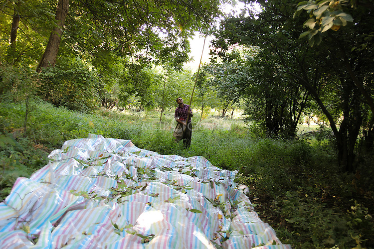 3/10/2012--Syagwez,Sulaimaniyah,Iraq-- Luqman is collecting the walnuts after he placed a big sheet on the ground so all the walnuts will fall on the sheet. A height of the walnut tree is between 18 to 24 meters and they use a long stick to make the walnuts fall off the tree.
