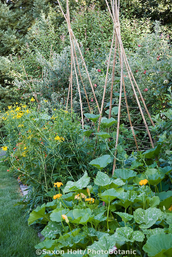Bean teepee made from recycled tree Dahlia imperialis stalks, tripod supports in edible landscaping, ornamental organic vegetable garden border