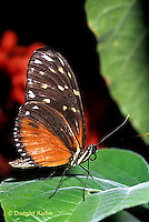 LE45-002a  Butterfly - Tiger Longtail from Central and South America - Heliconius hecale