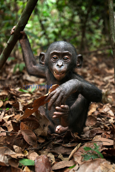 Bonobo male baby aged 10 months playing with leaves (Pan paniscus), Lola Ya Bonobo Sanctuary, Democratic Republic of Congo.