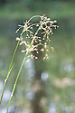 Great wood-rush (Luzula sylvatica), banks of River Dart, Hembury Woods, Devon, late April.