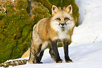 Red Fox standing on the snow in front of a mossy rock - CA