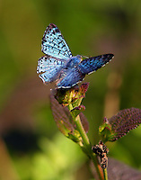 Male blue metalmark