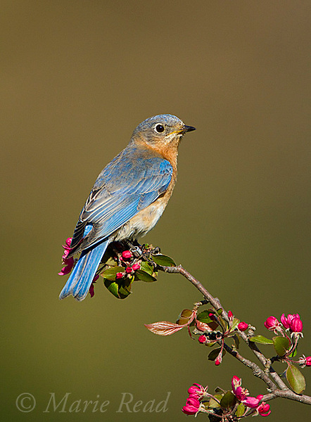 Eastern Bluebird (Sialia sialis) female perched on flowering crabapple, New York, USA.