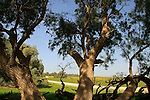 Israel, the northern Negev. Tamarisk trees at Rebuva well by Besor scenic road