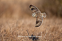 01113-009.12 Short-eared Owl (Asio flammeus) in flight at Prairie Ridge State Natural Area, Marion Co., IL
