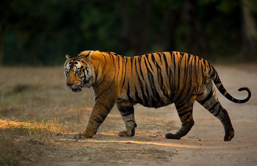 Majestic Tigers - Images   Mark Sisson