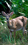 Key Deer, Odocoileus virginianus clavicvum, Big Pine Key, Florida Keys