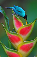 Green Honeycreeper (Chlorophanes spiza)Male