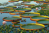 Giant Amazon Water Lily found mostly in the Amazon flurishes in a tributary of the Pixaim River of Brazil's Pantanal.  They can grow to a diameter of 7 feet blooming at night white female blossoms that turn the next day to pink male blossoms. (Dry Season)