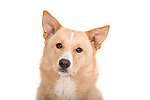 Canaan Dog, Portrait, Studio