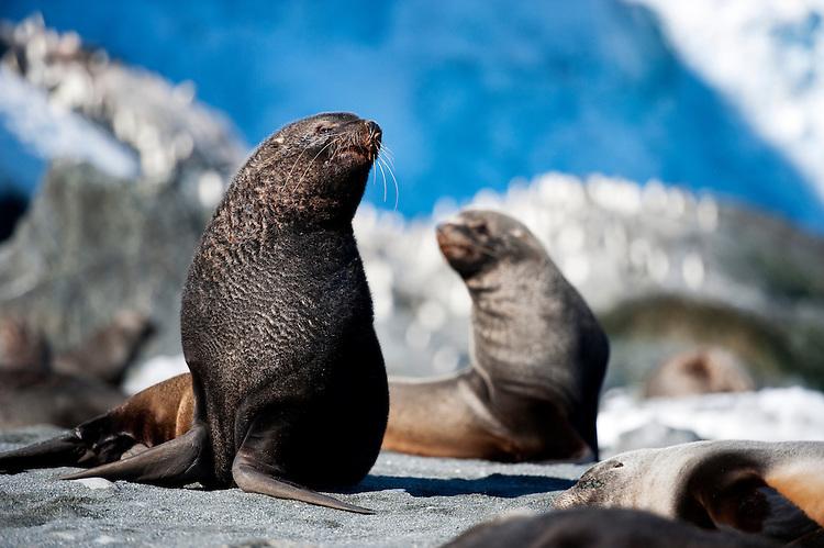 Antarctic fur seal (Arctocephalus gazella), Elephant Island, Antarctica