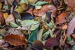 Fallen leaves at the Arnold Arboretum in the Jamaica Plain neighborhood, Boston, Massachusetts, USA