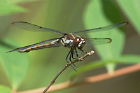 389100005 a wild male bar-winged skimmer libellula axelina a rare texas dragonfly or odonate perches on a limb in the angelina national forest in jasper county texas