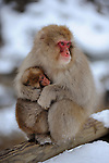 Snow monkeys in Jigokudani Monkey Park in the valley of Yokoyu-River, in Shiga kogen area of the northern part of Nagano-Prefecture. Here Japanese Macaque can be observed nearby in an Onsen area.<br />