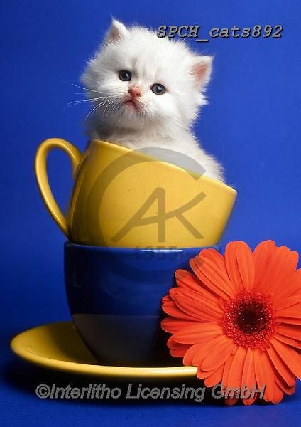 Xavier, ANIMALS, REALISTISCHE TIERE, ANIMALES REALISTICOS, cats, photos+++++,SPCHCATS892,#a#, EVERYDAY