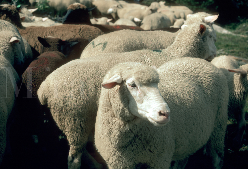 A flock of sheep in a summer pasture.