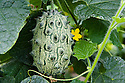 Kiwano (Cucumis metuliferus), polytunnel, mid August. Also known as African horned cucumber or melon, hedged gourd, jelly melon, or melano.