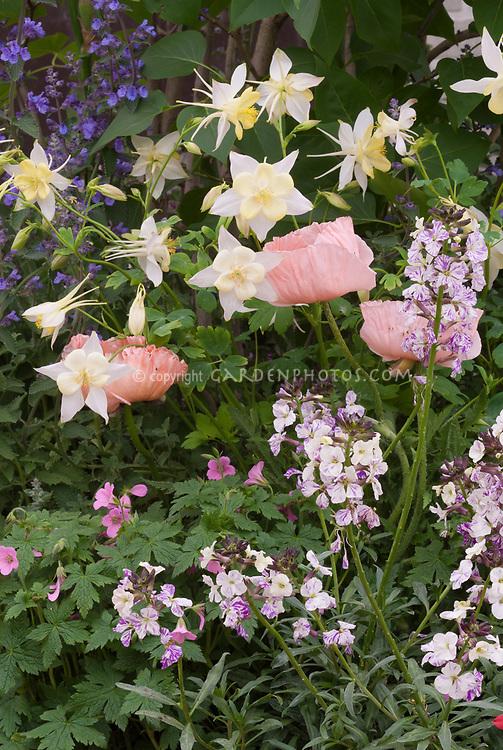 Aquilegia yellow and white columbine, Erysimum My Old Mum, Papaver poppy